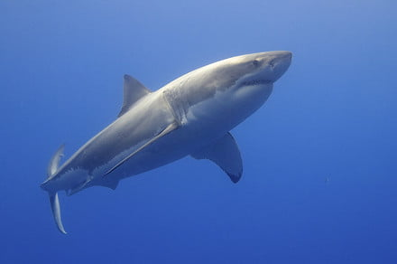 The Great White Shark's genome has been decoded, and it could help us end cancer