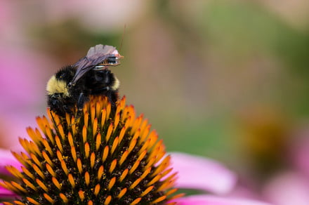 Researchers create a flying wireless platform using bumblebees