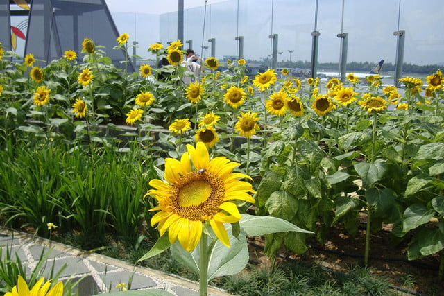 best airports for layovers changi airport sunflower garden 2