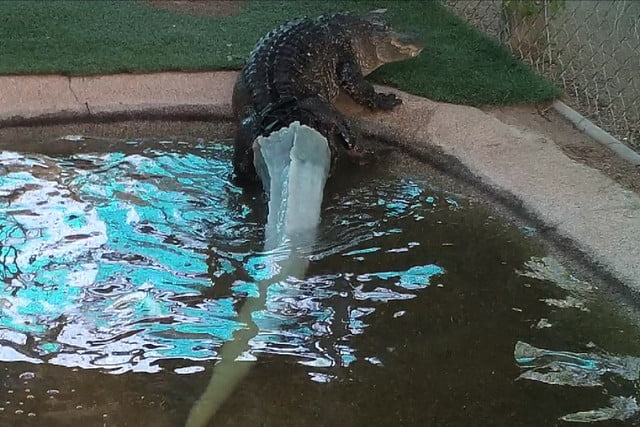 3d printed alligator tail climbing out of pond