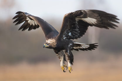 Eagle Attack France Trains Bird Of Prey To Take Down Rogue Drones Digital Trends