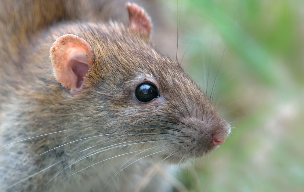 Nanotech injections successfully restore vision in blind rats