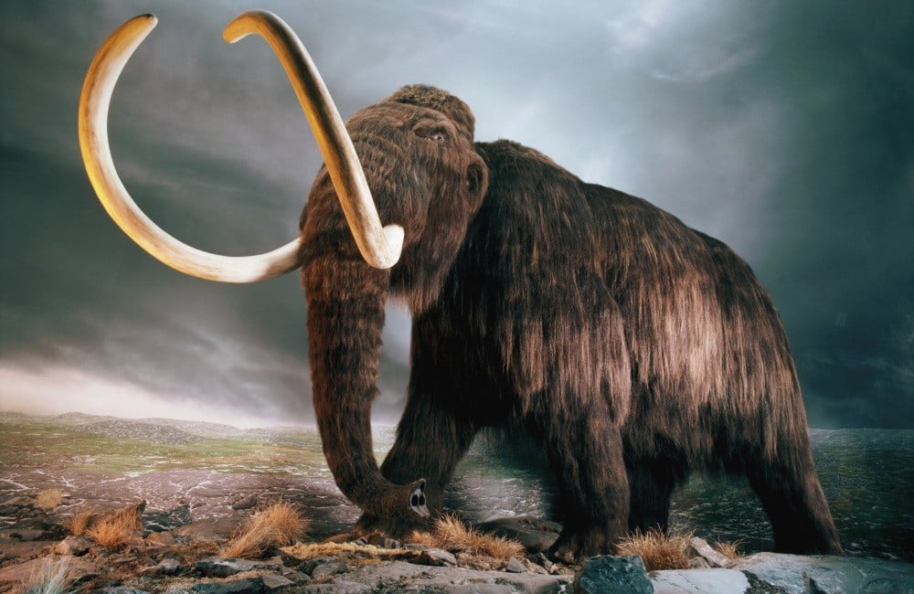 Harvard is getting ready to resurrect the woolly mammoth