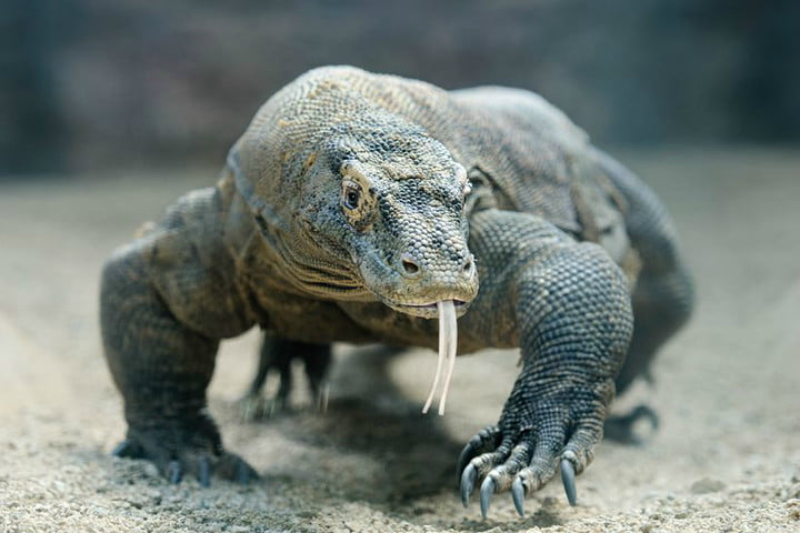 The Komodo dragon could save your life with its bacteria-fighting plasma