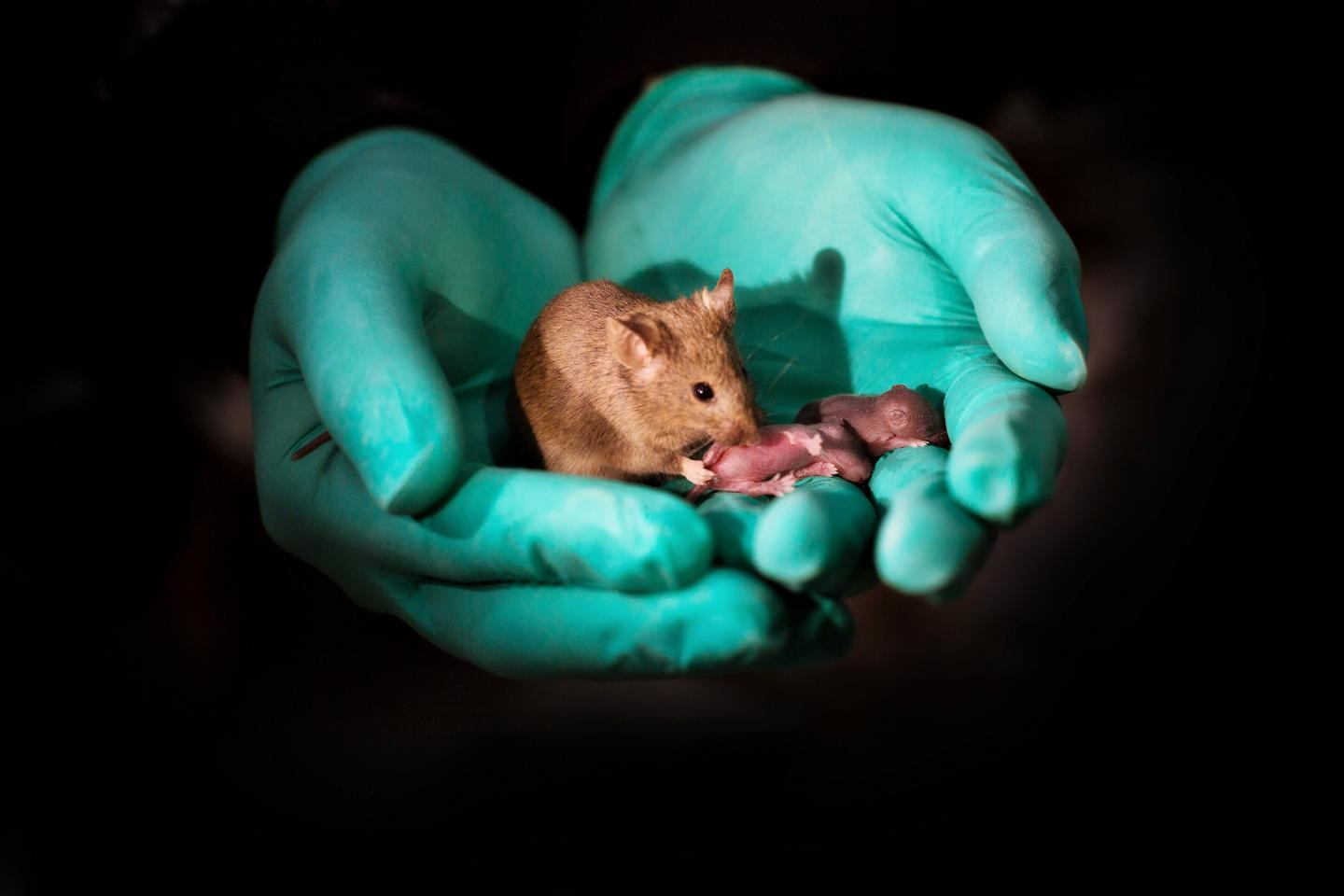 Healthy mice born from two genetic mothers using stem cells, gene editing