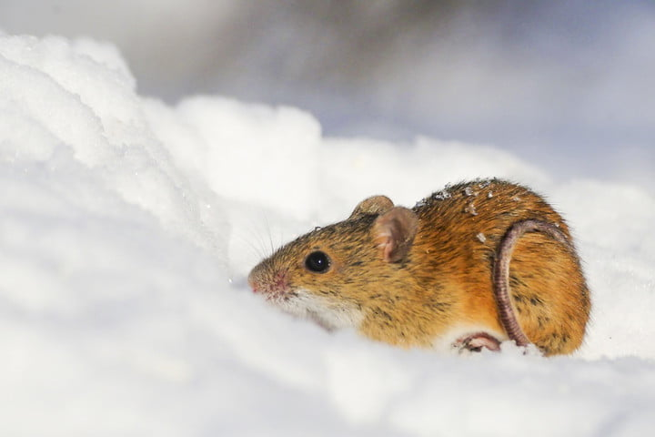 Scientists genetically engineer a mouse that's immune to cocaine addiction