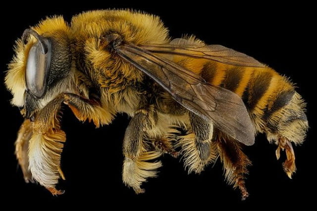 high resolution macro photos show amazing details bees wont cure fear bugs sam droge bee 4
