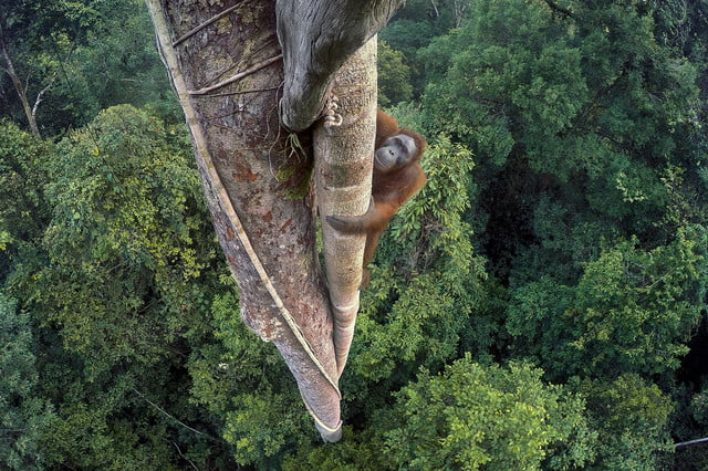 wildlife photographer of the year 2016 tim laman  photojournalist award story entwined lives