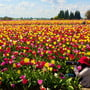 spring flower photography tips tulip field